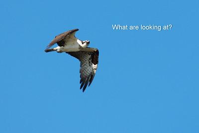 Osprey_flight3