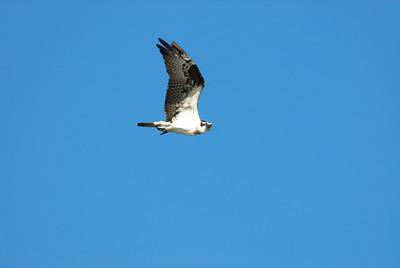 Osprey_flight5