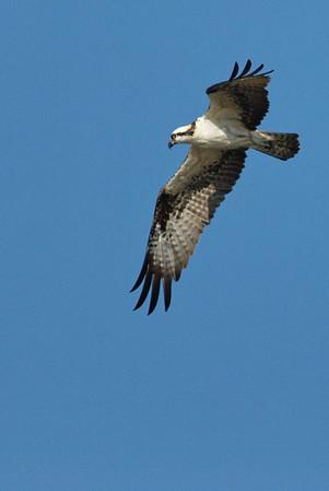 Ospreys at Seabrook, TX