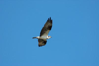Osprey_flight6