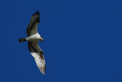 Osprey_hovering9