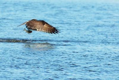 Osprey_fish3