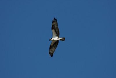 Osprey_flight8