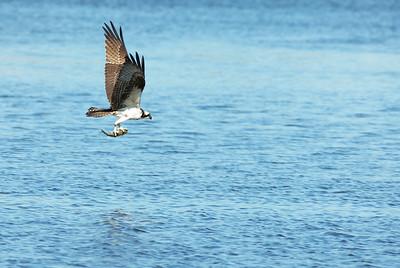 Osprey_fish5
