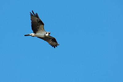 Osprey_flight4