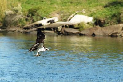 Osprey_fish8