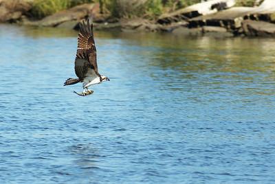 Osprey_fish7