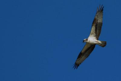 Osprey_flight7