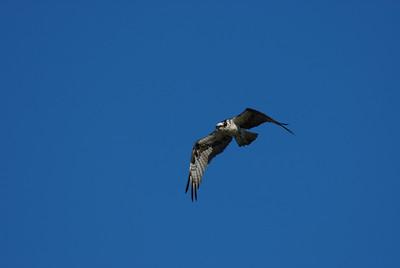 Osprey_flight9