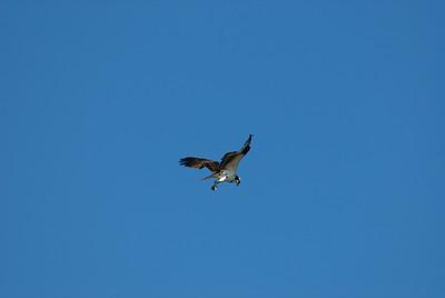 Osprey_hovering7