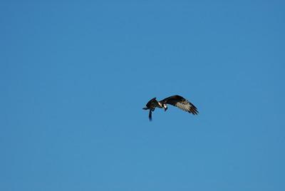 Osprey_hovering2