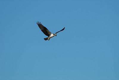 Osprey_hovering4