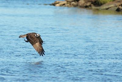 Osprey_fish6