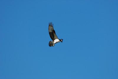 Osprey_hovering6
