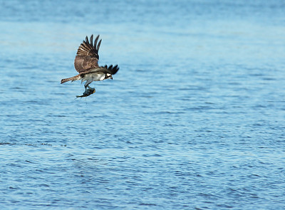 Osprey_fish4