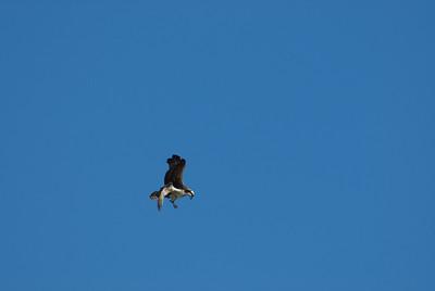 Osprey_hovering8