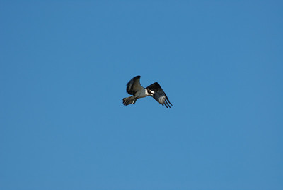 Osprey_hovering5