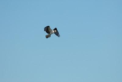 Osprey_hovering