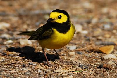 Quintana Neotropical Bird Sanctuary Hooded Warbler