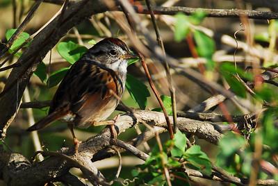 Quintana Neotropical Bird Sanctuary Lincoln's Sparrow