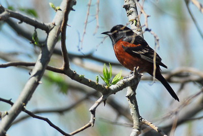 Quintana Neotropical Bird Sanctuary Orchard Oriole
