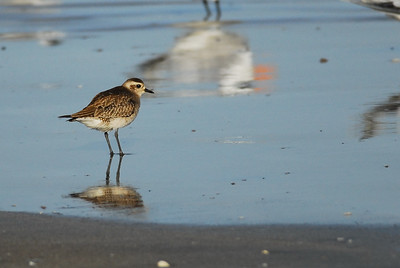 Quintana Neotropical Bird Sanctuary Sanderling