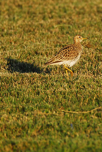 This Upland Sandpiper kept bending its head looking up for a passing hawk. Quintana Neotropical Bird Sanctuary