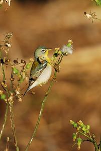 Quintana Neotropical Bird Sanctuary Northern Parula