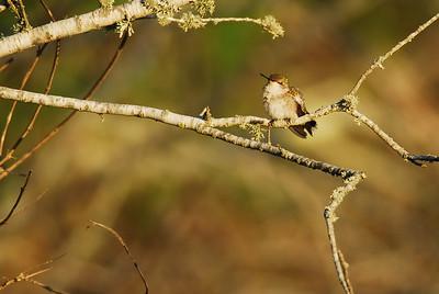 Quintana Neotropical Bird Sanctuary Ruby-throated Hummingbird
