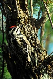 Quintana Neotropical Bird Sanctuary Yellow-bellied Sapsucker