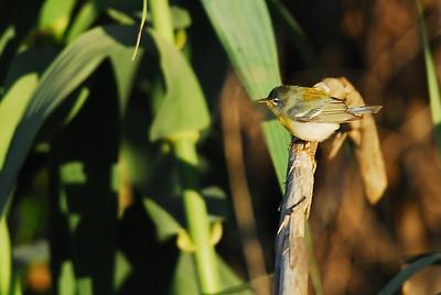 Northern Parula  Quintana Neotropical Bird Sanctuary