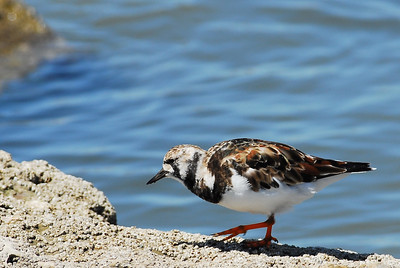 Ruddy Turnstone on the jetties  Quintana Neotropical Bird Sanctuary