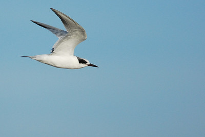 Gull-billed Tern  Quintana Neotropical Bird Sanctuary