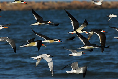 Quintana Neotropical Bird Sanctuary Black skimmers and tern in flight