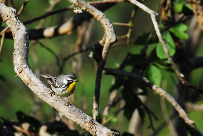 Quintana Neotropical Bird Sanctuary Yellow-throated Warbler