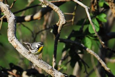 Quintana Neotropical Bird Sanctuary Yellow-throated Warbler
