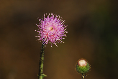 Purple Thissel flower  Quintana Neotropical Bird Sanctuary