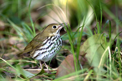 Ovenbird with a mouthful of worm.