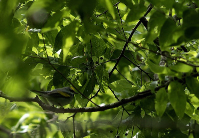 Golden-winged Warbler