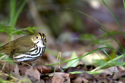 Ovenbird showing off his mohawk haircut!