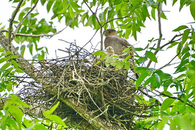 05182017_Russ_Pittman_Park_Coopers_Hawk_Nest_&_Chicks_500_0120