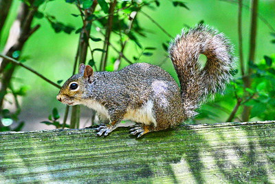 05182017_Russ_Pittman_Park_Squirrel_500_9971