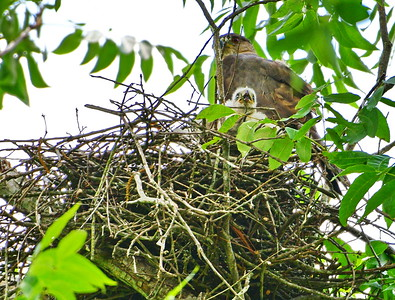 05182017_Russ_Pittman_Park_Coopers_Hawk_Chick_500_0115