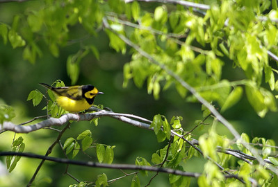 Hooded Warbler at Sabine Woods on the Upper Texas Coast