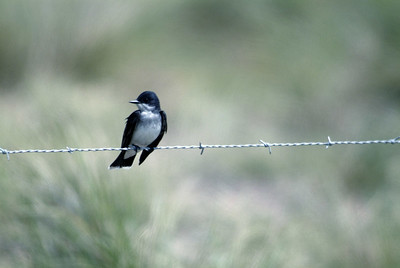 Eastern Kingbird catching insects along Highway 87 on the way to Sabine Woods
