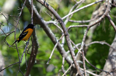 Baltimore Oriole photographed at Sabine Woods