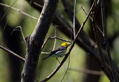 Hermit Warbler photographed at The Willows
