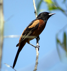 Orchard Oriole photographed at The Willows on the Upper Texas Coast near Sabine Pass, TX