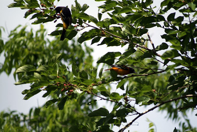 Baltimore Orioles feeding on the mulberry tree in Sabine Woods.  There were as many as a dozen Baltimores in this tree at one time.