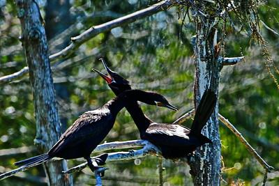 Neotropic Cormorant Mating Ritual